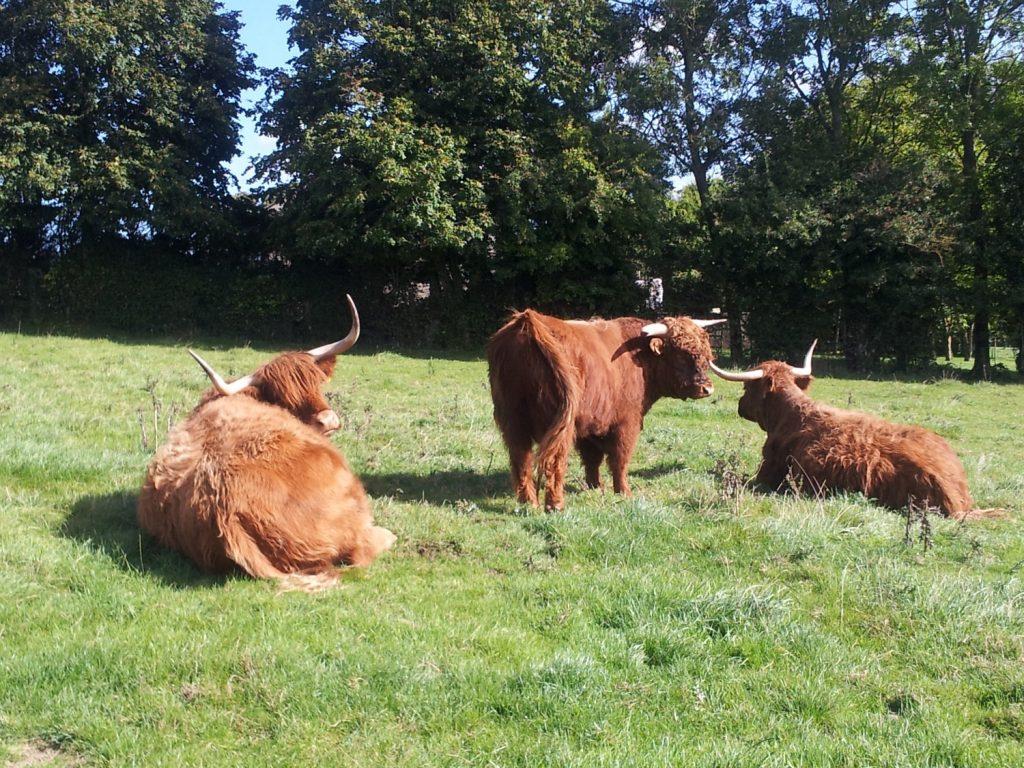 Marais de Guînes - Vache Highland-2