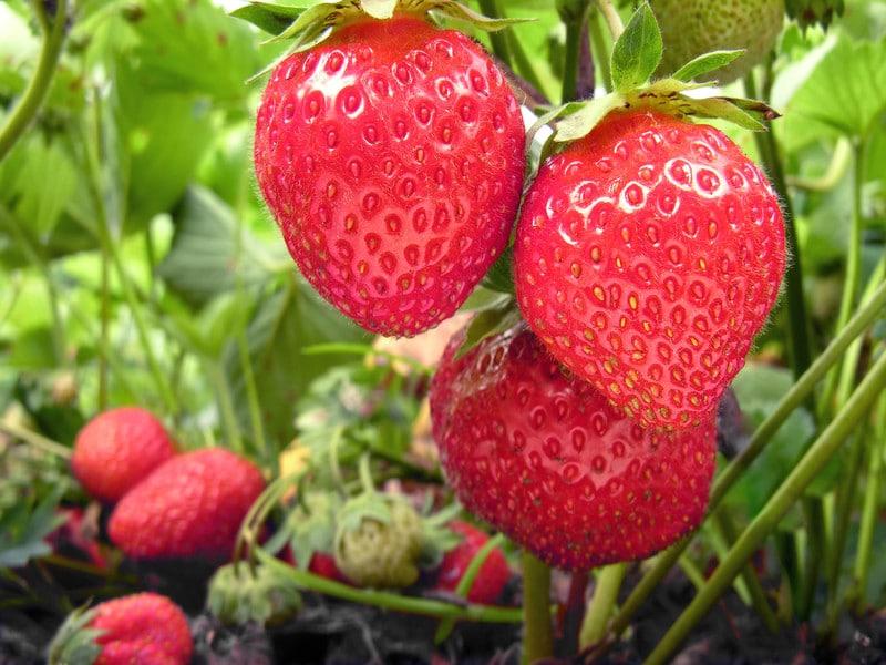 cueillette fraises | OTPO